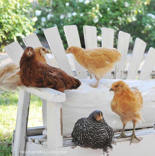 Chickd1