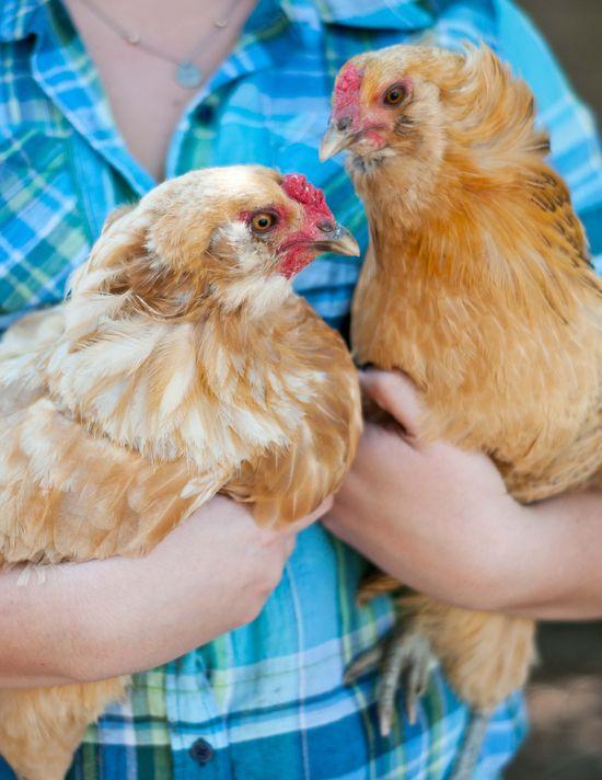 Chickens22